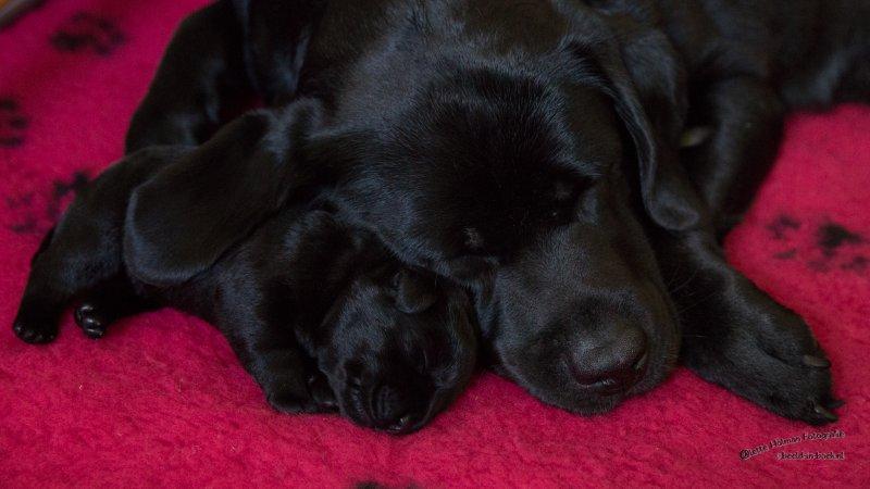 Pup Beike 1 weekje oud-19