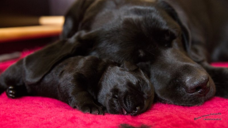 Pup Beike 1 weekje oud-25