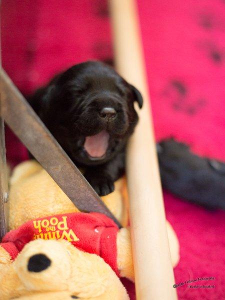 Pup Beike 1 weekje oud-32
