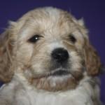 Joy als pup
