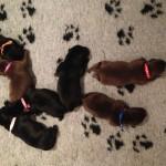 Pups op kleed