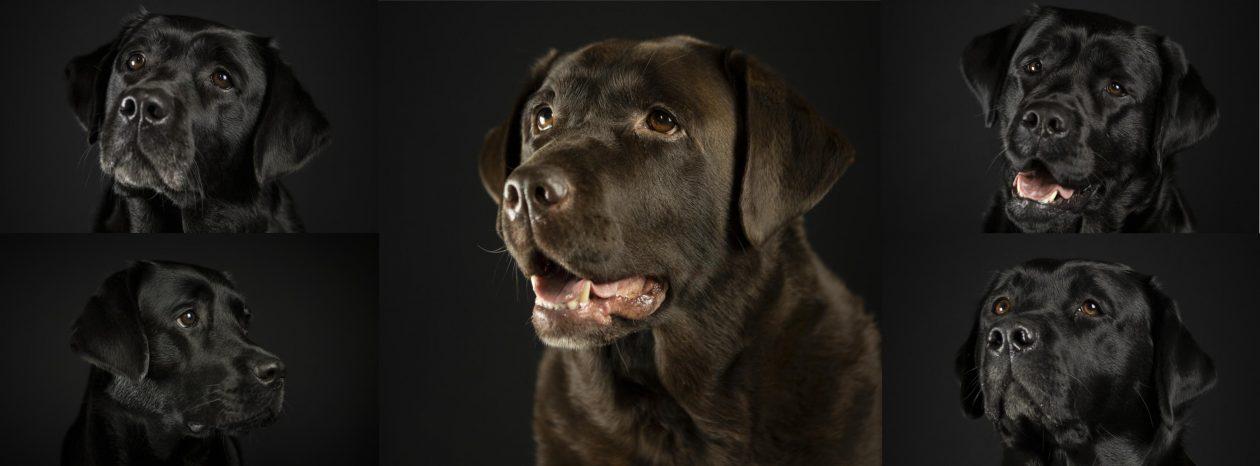 Van 't Bakkersveld Labradors